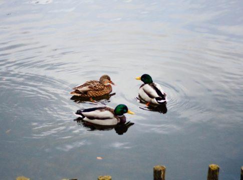 Rațe pe apă (foto Kamil S. / Unsplash)